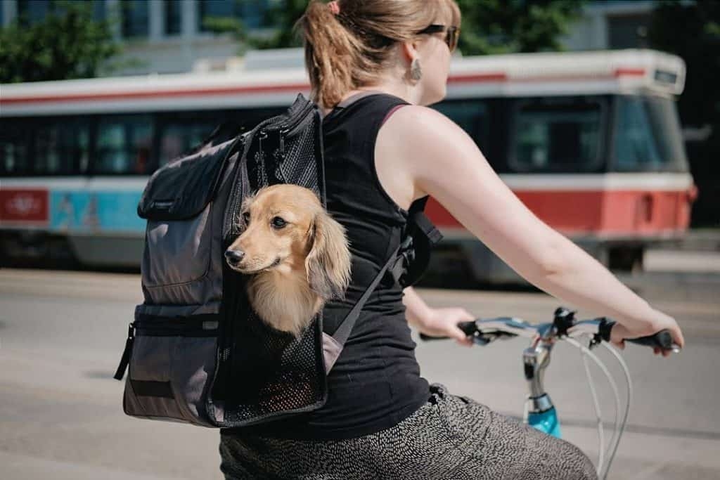 Dachshund in the Timbuk2 Mutt Mover Backpack