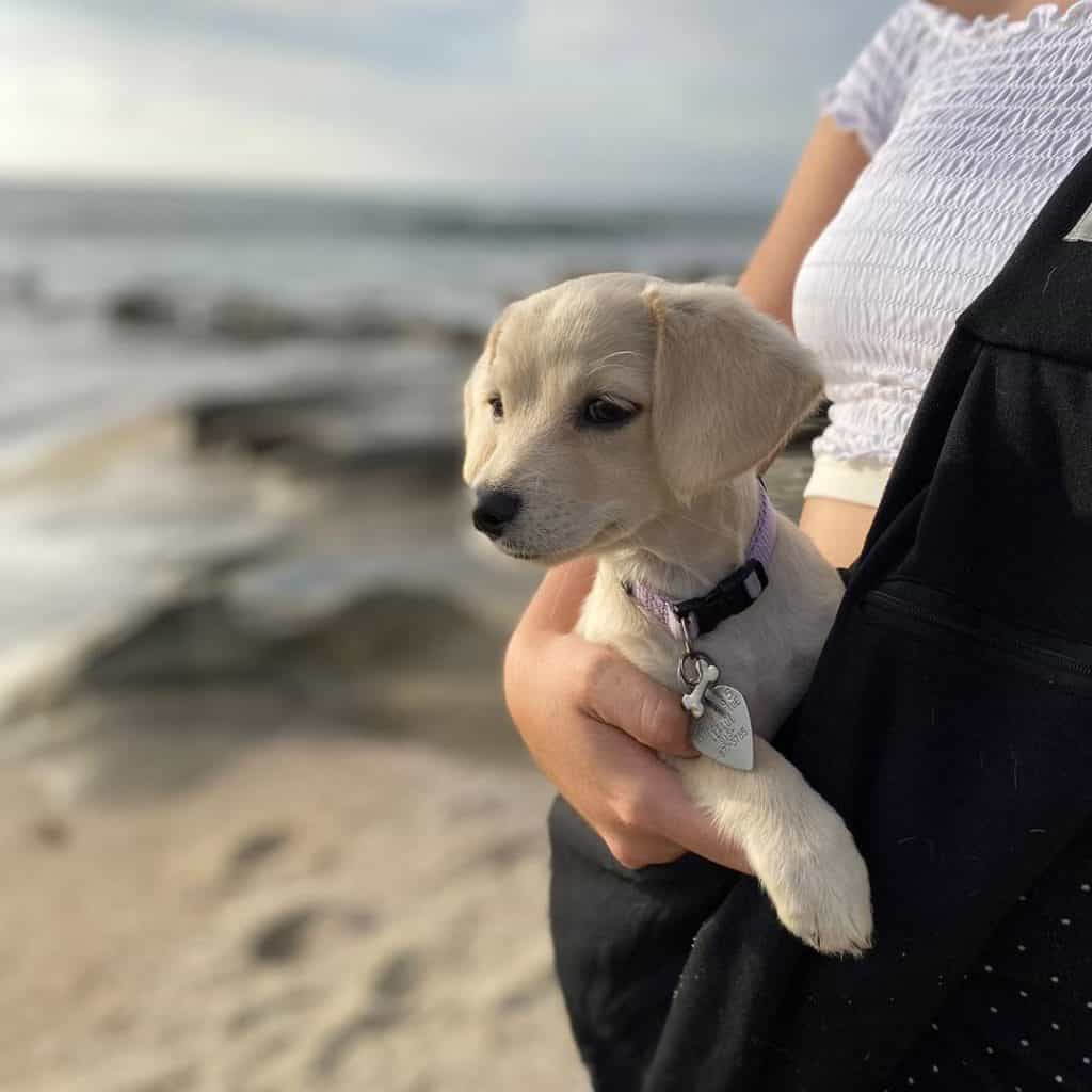 Dachshund in dog sling