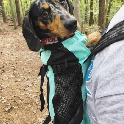 Miniature dapple dachshund in K9 Sport Sack backpack