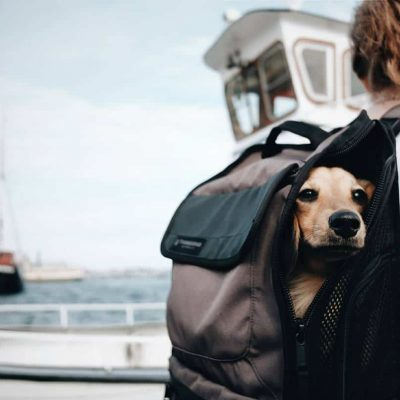 Blonde haired dachshund with head peaking out of Timbuk2 Mutt Mover backpack